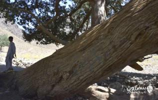 درخت دهپاپید