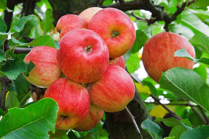 سیب دماوند - از محبوبترین سوغات تهران
