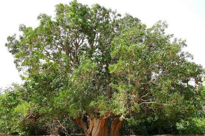 درخت پسته ی اودرج