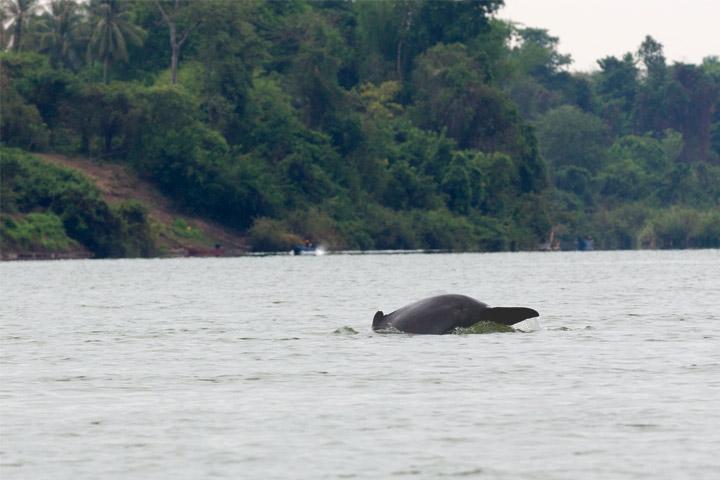 دلفین های Mekong Irrawaddy شهر کراتی