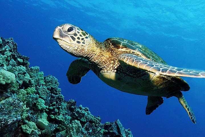 لاک پشت های دریایی در جزیره مرجانی کیش