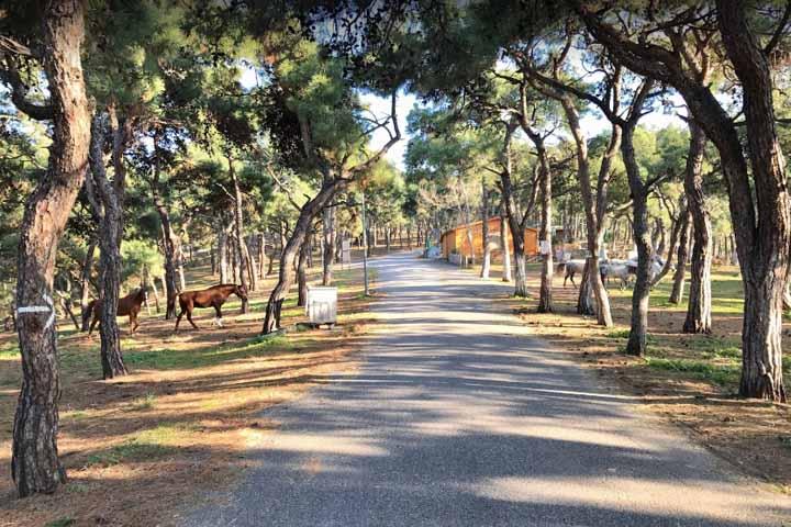 جنگل کاج